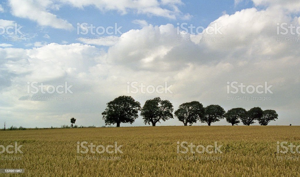 grain-field with trees in line royalty-free stock photo