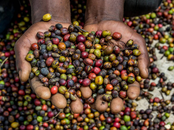 Grains of ripe coffee in the handbreadths of a person. East Africa. Coffee plantation. stock photo