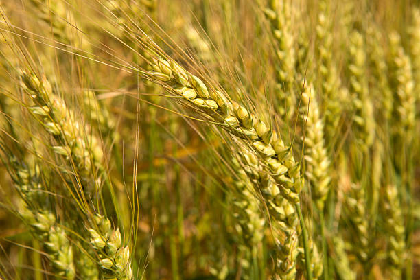 Grains ripening in the fields stock photo