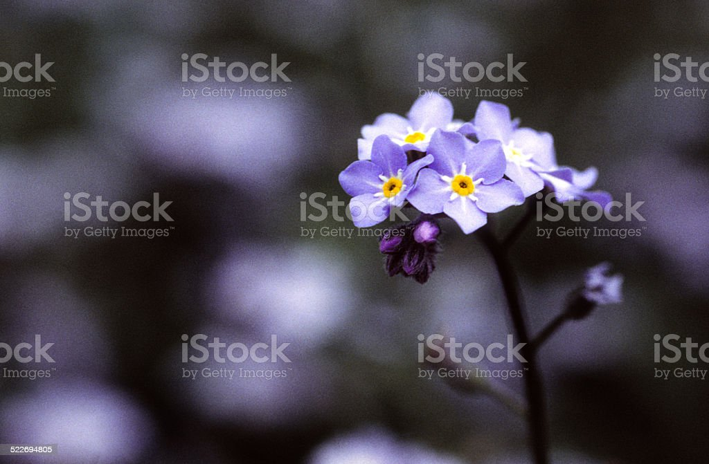 Grainy Moody Picture of Forget me Not Flower stock photo