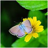 Gram blue butterfly sitting on yellow flower - wings open
