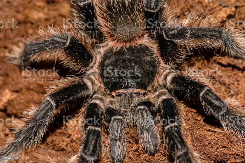 grammastola pulchripes in a box stock photo