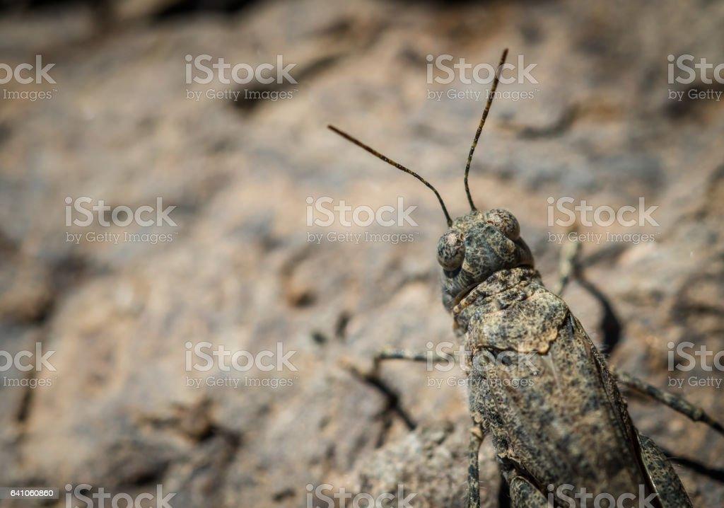 Gran canaria sand grasshopper Sphingonotus guanchus in Spain stock photo
