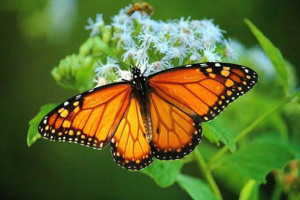 gran mariposa hermosa mariposa naranja posada sobre una flor polinizando alas stock pictures, royalty-free photos & images