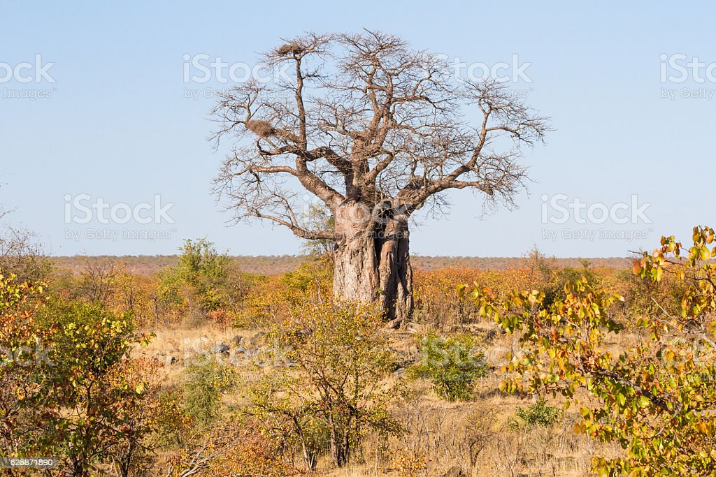 Grand Baobab in Dry Season stock photo