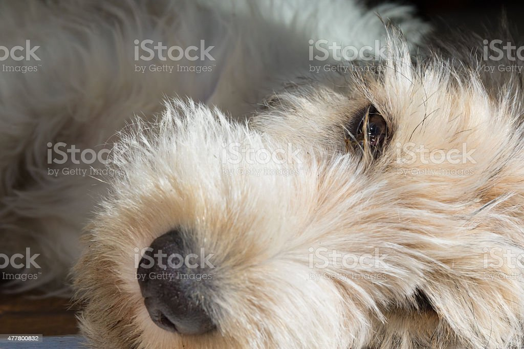 Grand Basset Griffon Vendéen Pup stock photo