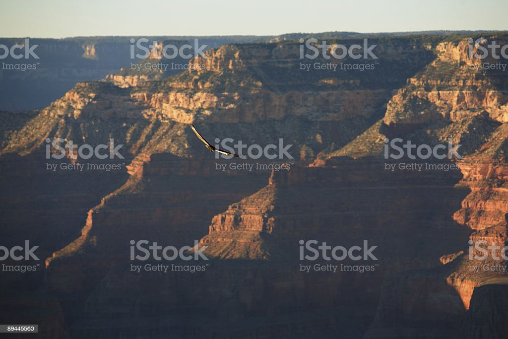 Grand Canyon - California Condor royalty-free stock photo