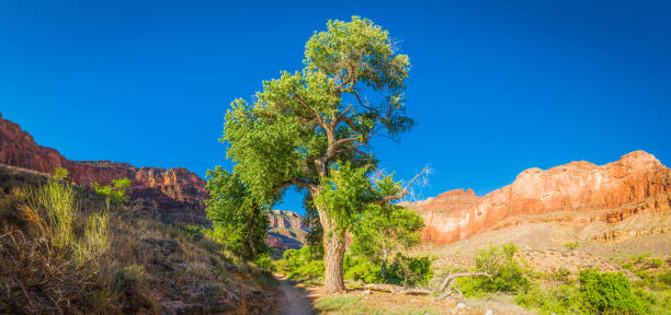 Grand Canyon Cottonwood Tree Bright Angel Trail Indian Garden Arizona Panoramic view up the Bright Angel Trail to the green oasis of Indian Garden, Grand Canyon National Park, Arizona, USA. cottonwood tree stock pictures, royalty-free photos & images