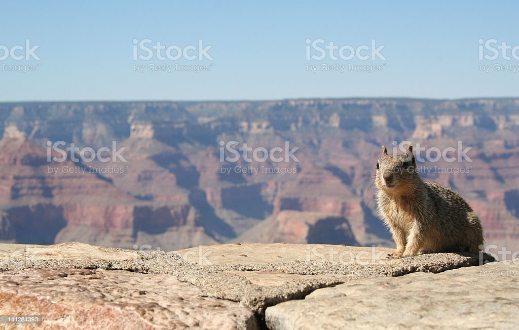 Grand Canyon Squirrel royalty-free stock photo