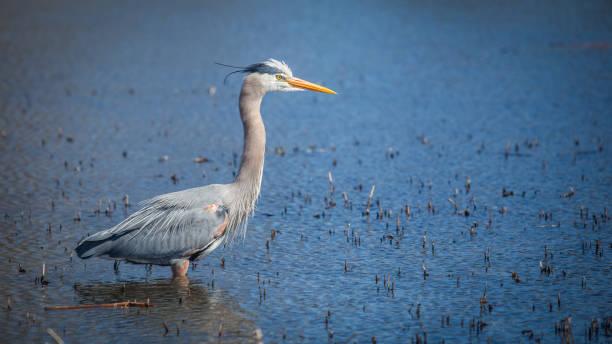 büyük mavi balıkçıl - balıkçıl stok fotoğraflar ve resimler