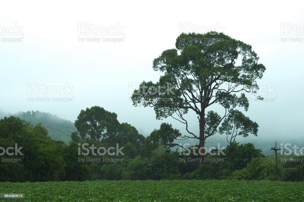 グランド、大型で美しいタイのツリー、ハードの夏の暴風雨の中に、タピオカのファームに隣接します。 - かすみのロイヤリティフリーストックフォト