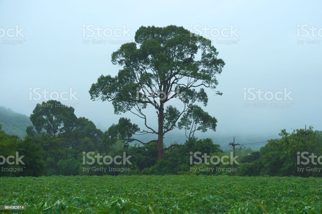 A grand, large and beautiful Thai tree, adjacent to a tapioca farm, during a hard summer rainstorm. - Royalty-free Agriculture Stock Photo