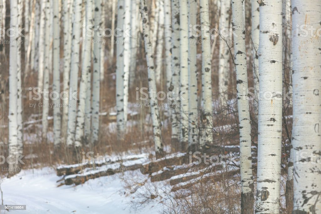 Grand Mesa Colorado Winter Hunting Aspen Grove stock photo