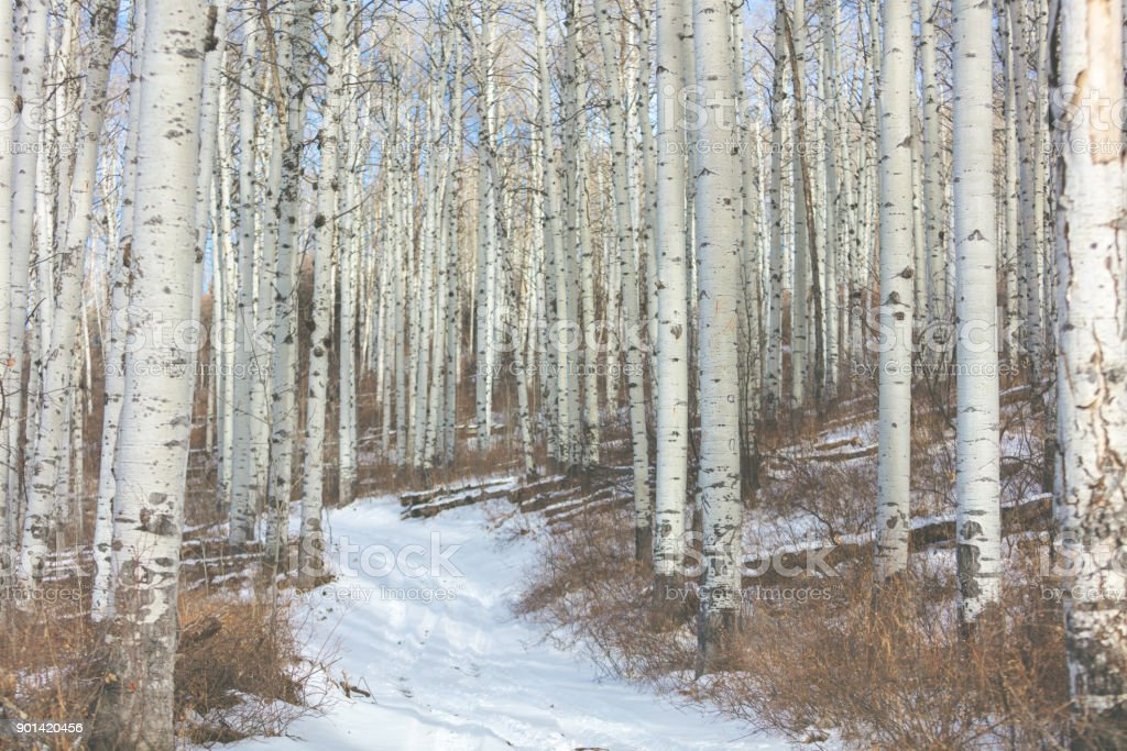 Grand Mesa Colorado Winter Hunting Aspen Grove stock photo