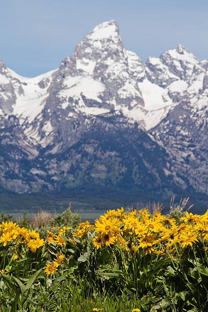 Grand Teton and Arrowleaf stock photo