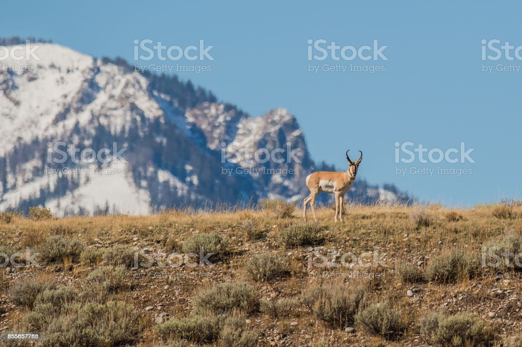 Grand Teton Pronghorn stock photo