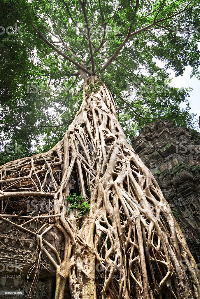 Grand Tree royalty-free stock photo