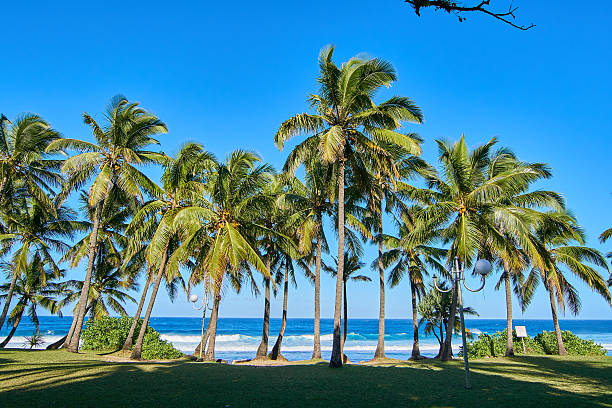 Grande Anse palm trees on morning - Reunion Island stock photo