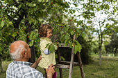 Grandfather and little granddaughter spending time in back yard while girl standing on ladder and picking cherries from tree