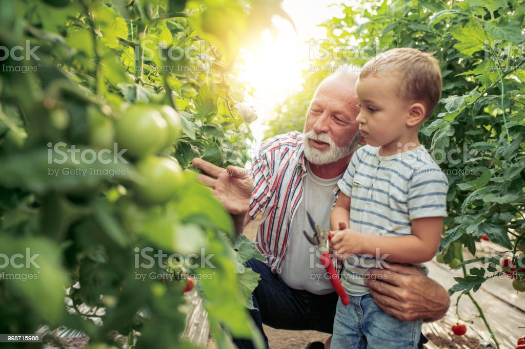 Grandfather and grandson in greenhouse. stock photo