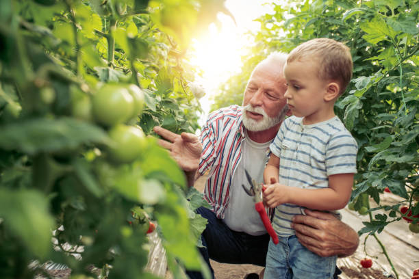 Grandfather and grandson in greenhouse. Grandfather and his grandson in a greenhouse, they are picking tomato together. grandson stock pictures, royalty-free photos & images