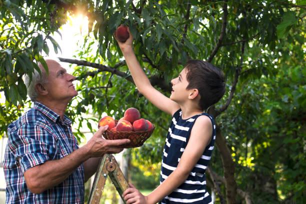 grandfather and grandson picking peaches - pesche bambino foto e immagini stock
