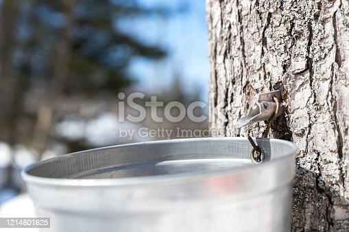 Grandfather and grandson tapping maple tree for maple syrup on a nice day of spring