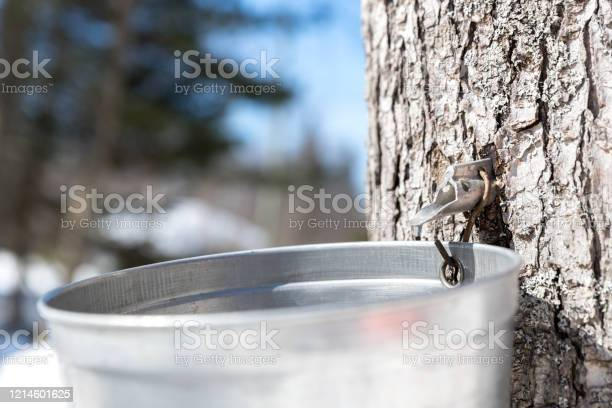 Photo of Grandfather and grandson tapping maple tree for maple syrup