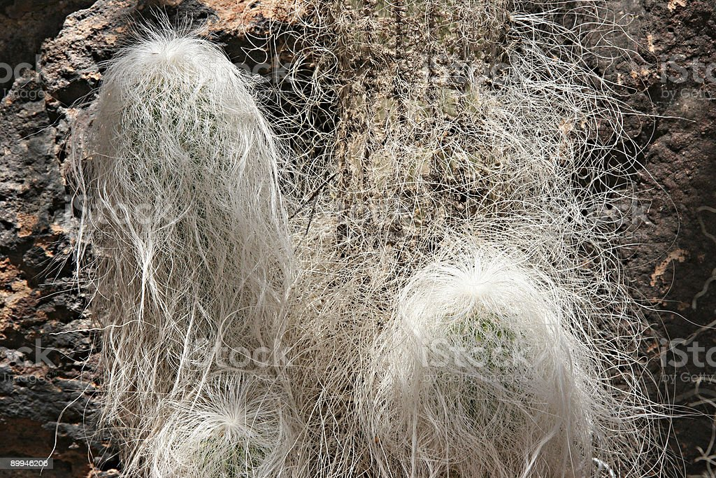 Grandfather Cactus royalty-free stock photo