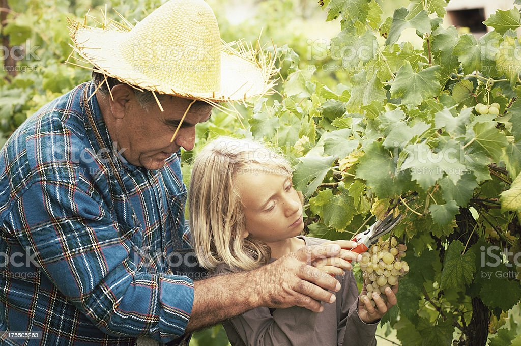 Grandfather helping his grandson to cut a grape stock photo