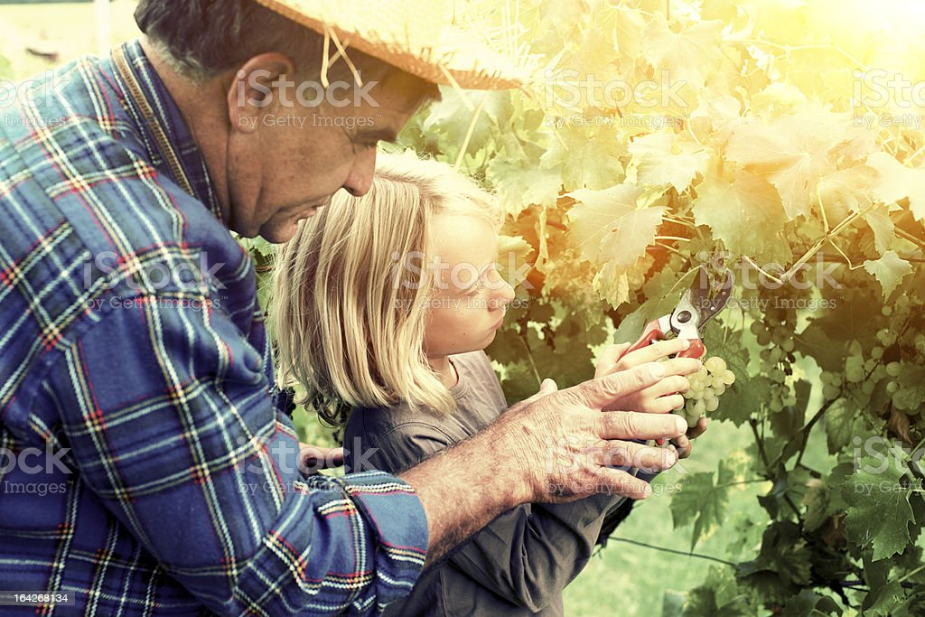 Grandfather is teaching harvesting to grandson stock photo
