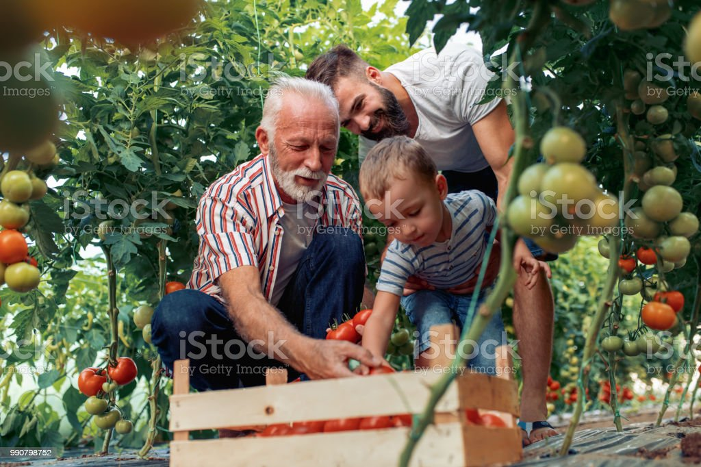 Grandfather,son and grandson working in greenhouse stock photo