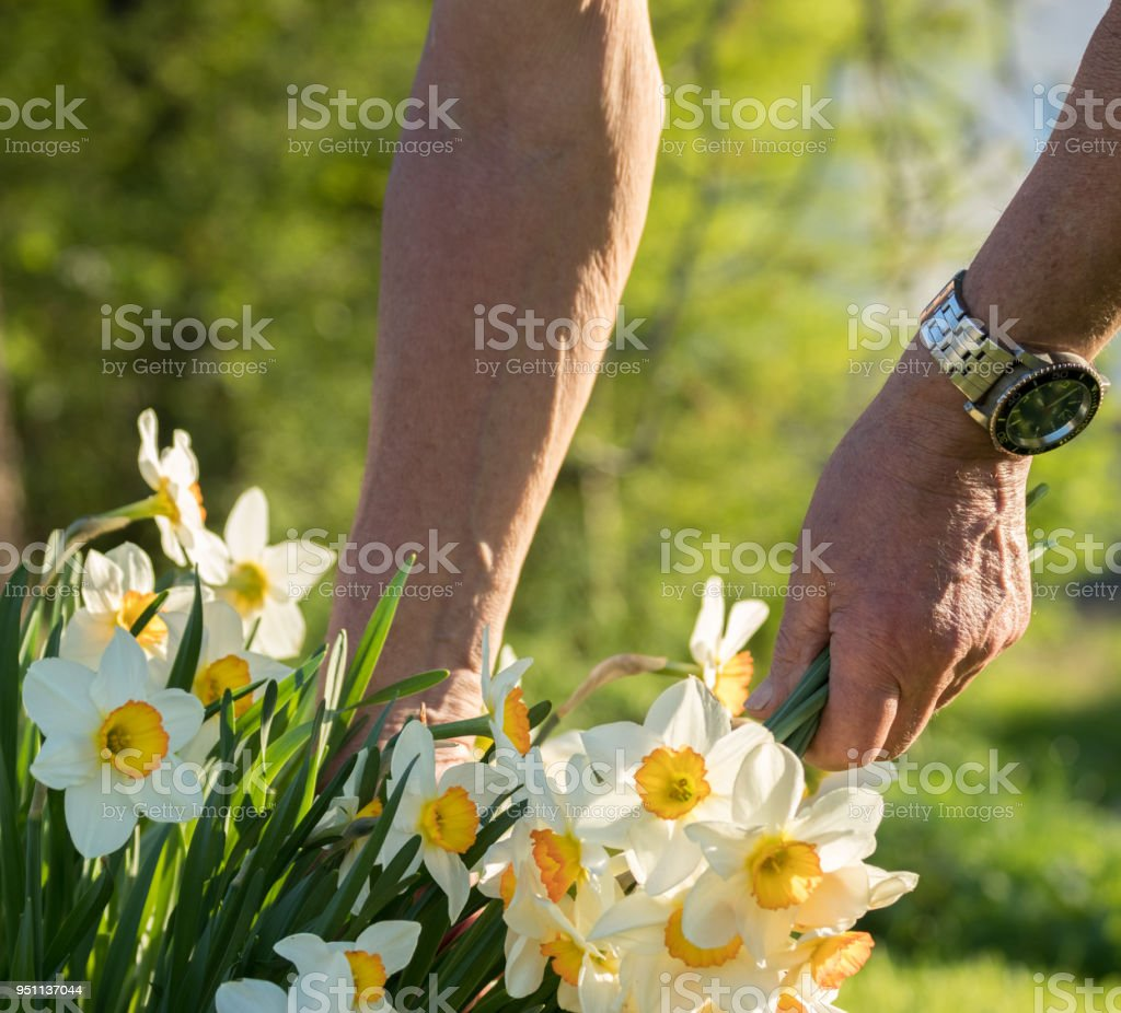 Grandpa Picking White Flowers Of Jasmine For Granda Stock Photo