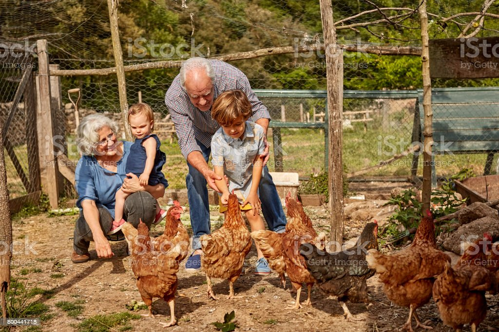 Grandparents with children feeding hens in coop stock photo
