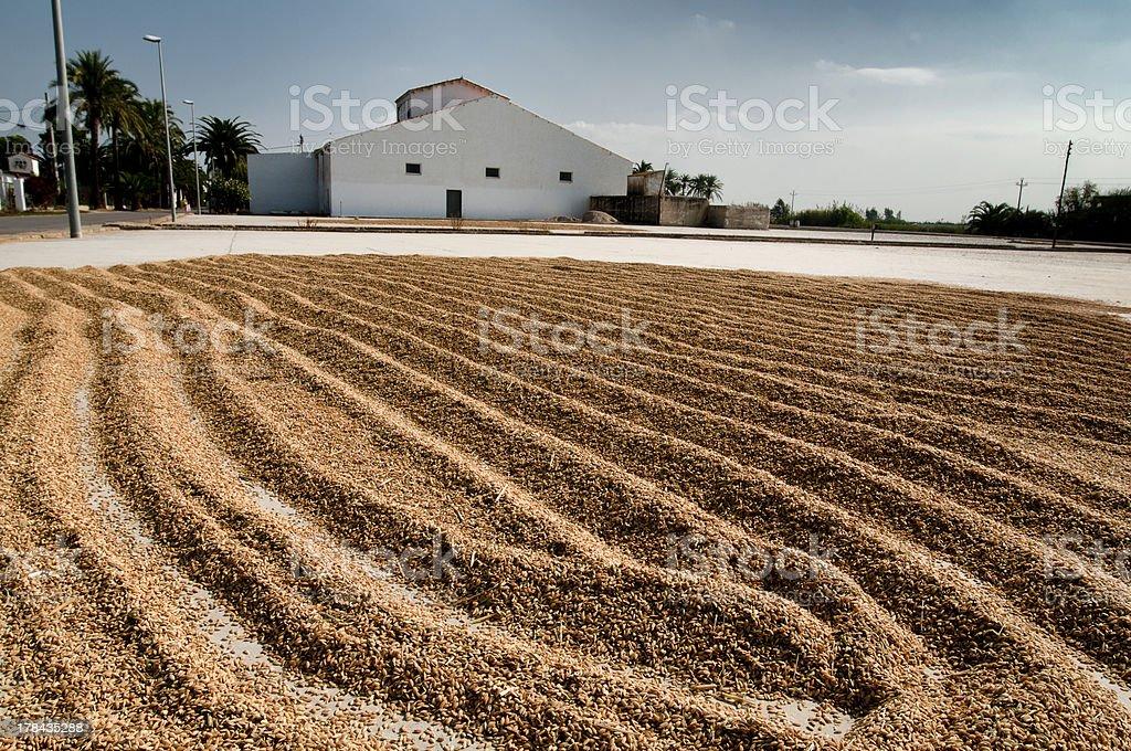 Granos de arroz al sol stock photo