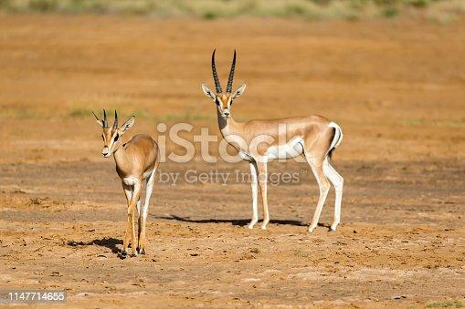 A Grant Gazelle in the savannah of Kenya