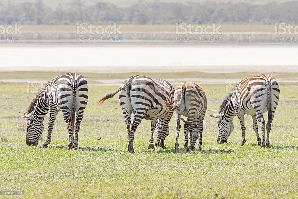 Grant zebras back to us graze in savanna before lake royalty-free stock photo