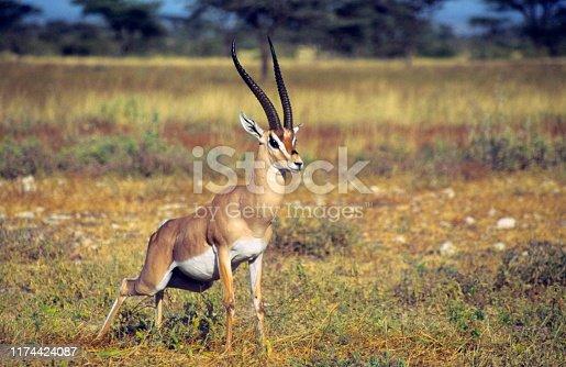 Grant's Gazelle defecating in Amboseli National Park, Kenya.