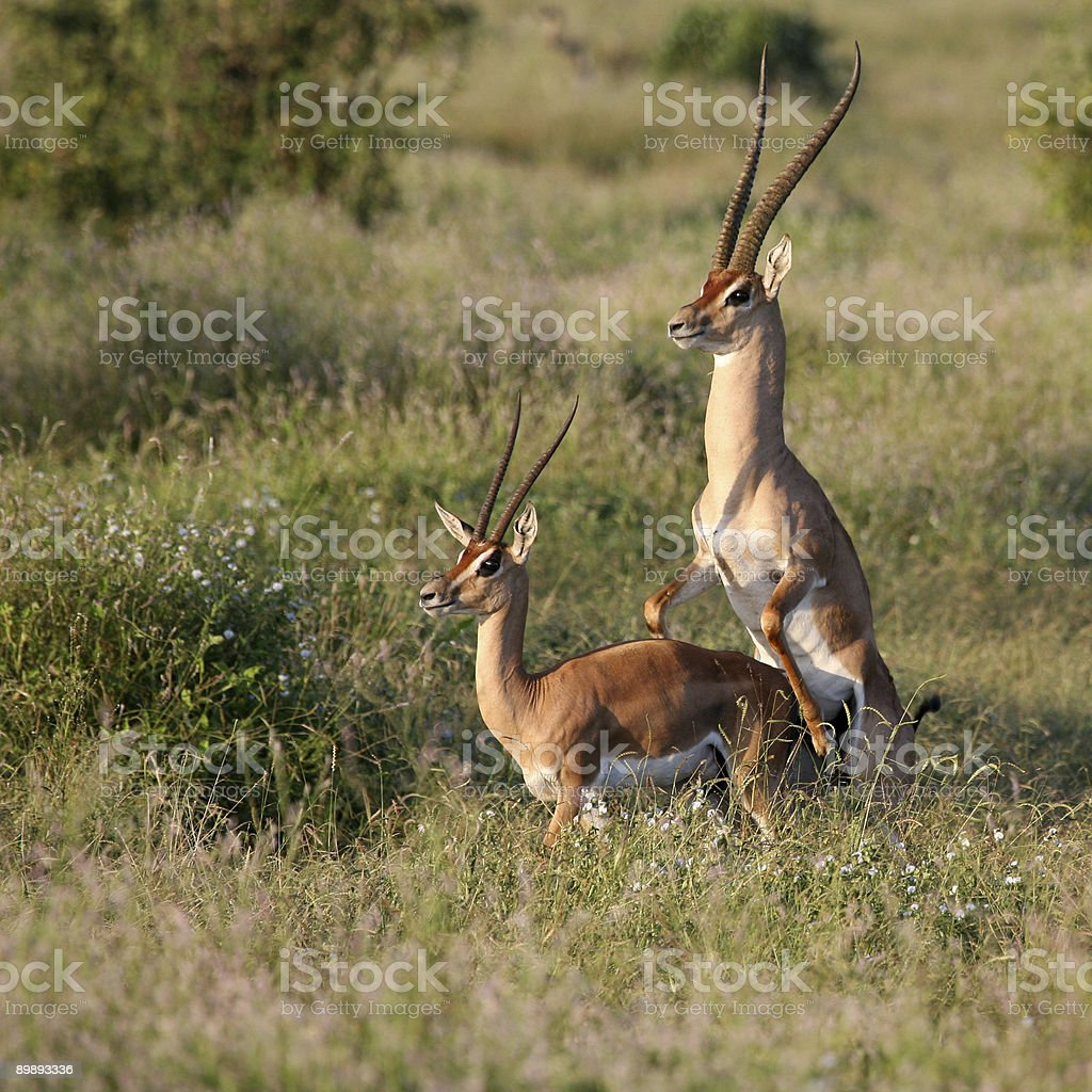 Grant's Gazelle mating season Tsavo East Kenya royalty-free stock photo