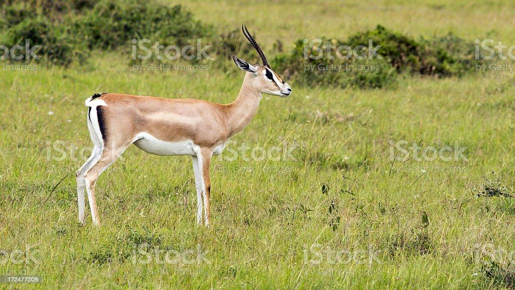 Grant's Gazelle royalty-free stock photo