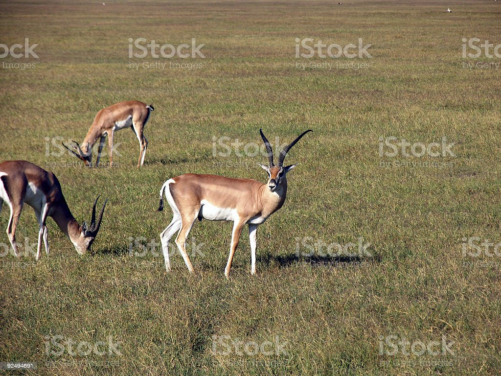 Grant's gazelle royalty-free stock photo