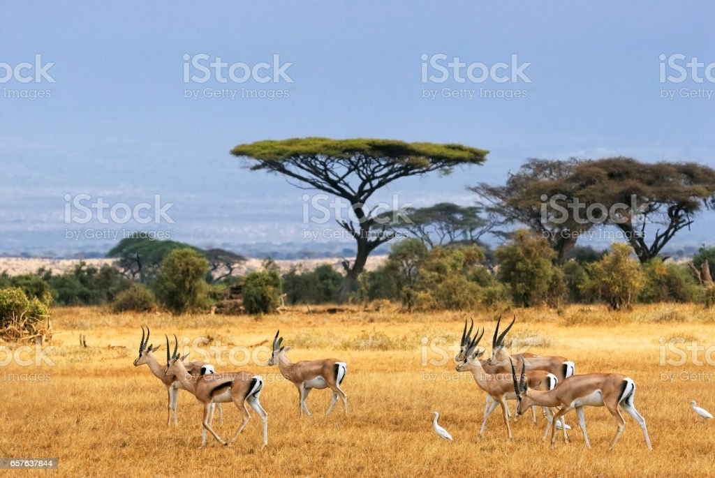 Grant's gazelles stock photo