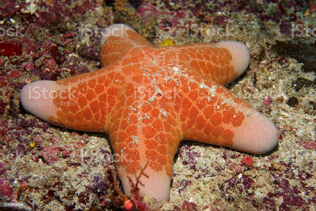 Granular Sea Star stock photo