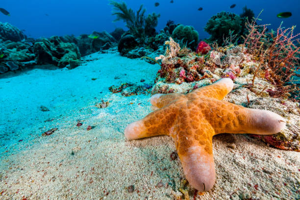 Granulated Sea Star Choriaster granulatus at Sandy Ocean Floor, South of Tellang Island, Indonesia stock photo