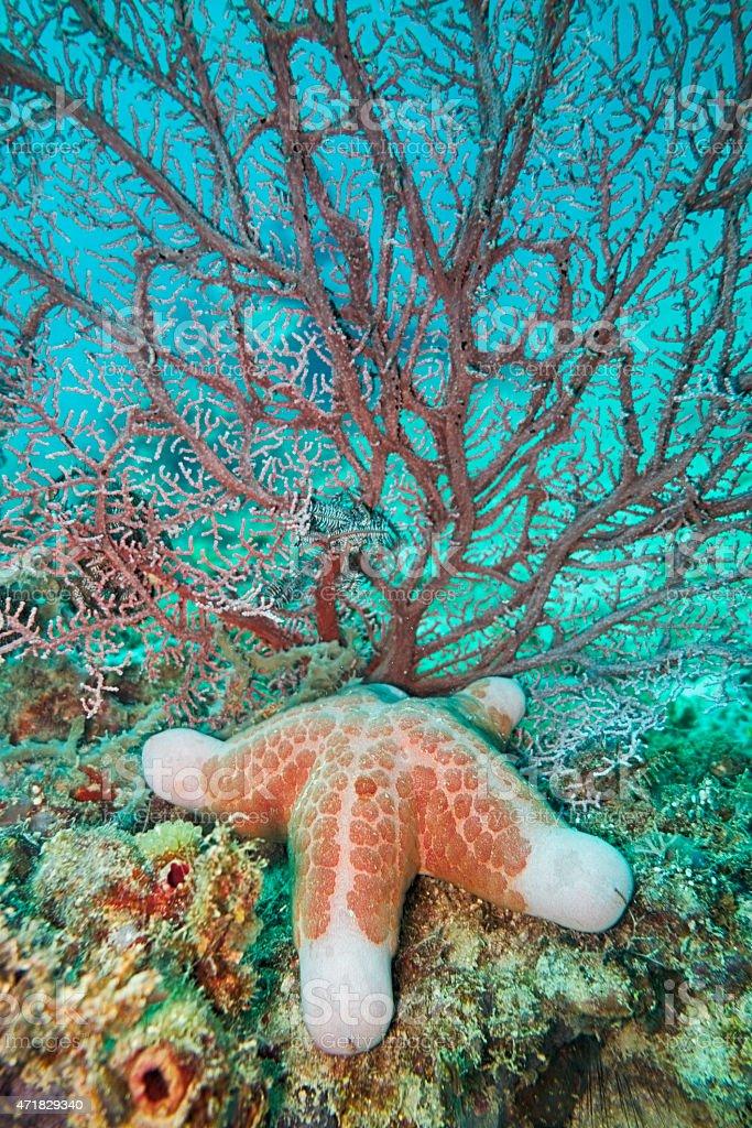 Granulated Sea Star stock photo