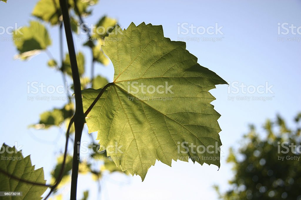 Grap Leaf royalty-free stock photo