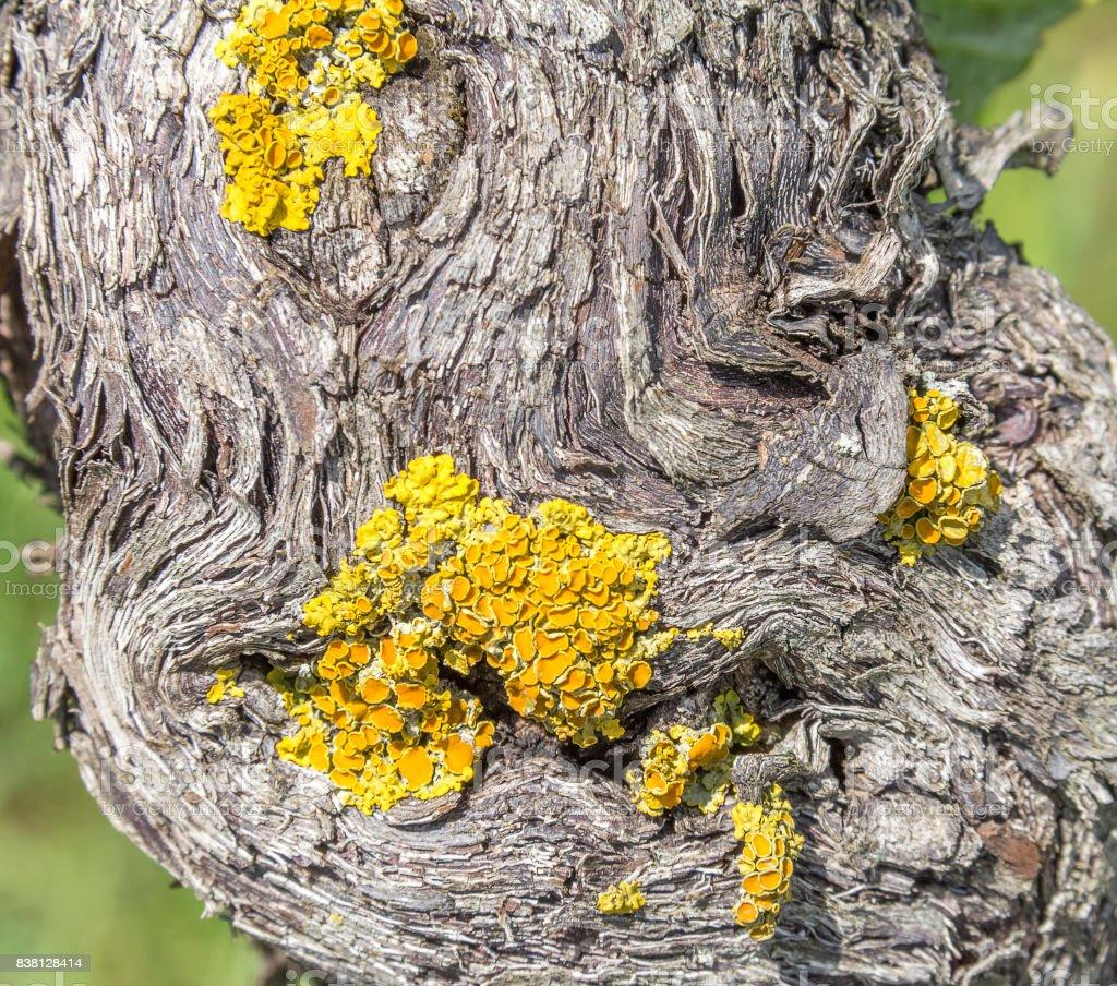 grape and lichen stock photo