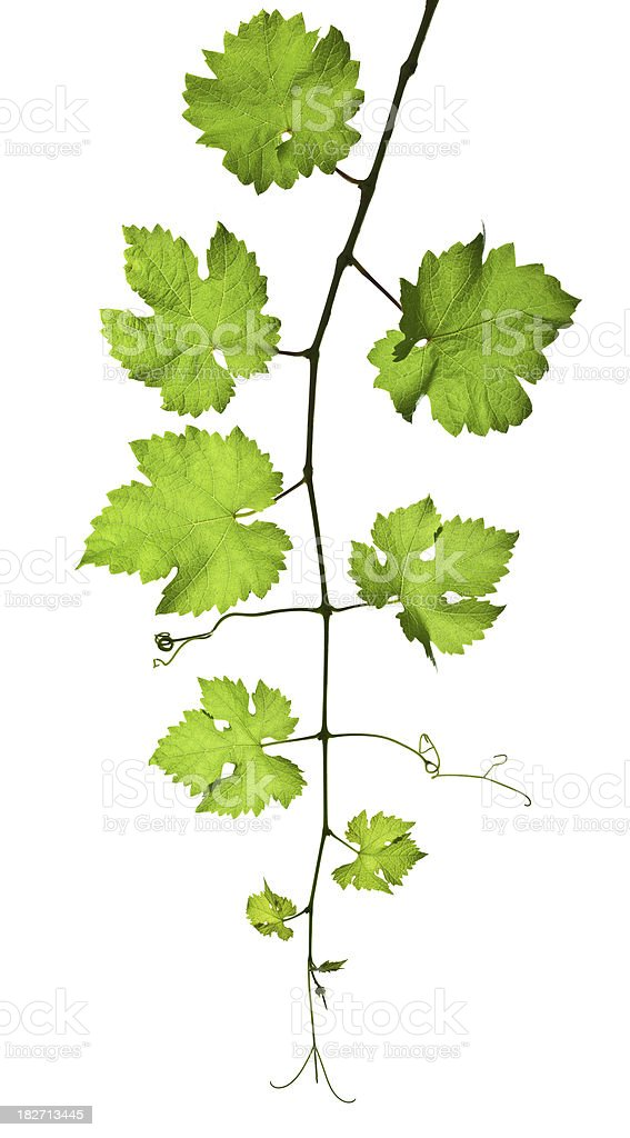 Grape branch isolated on white royalty-free stock photo
