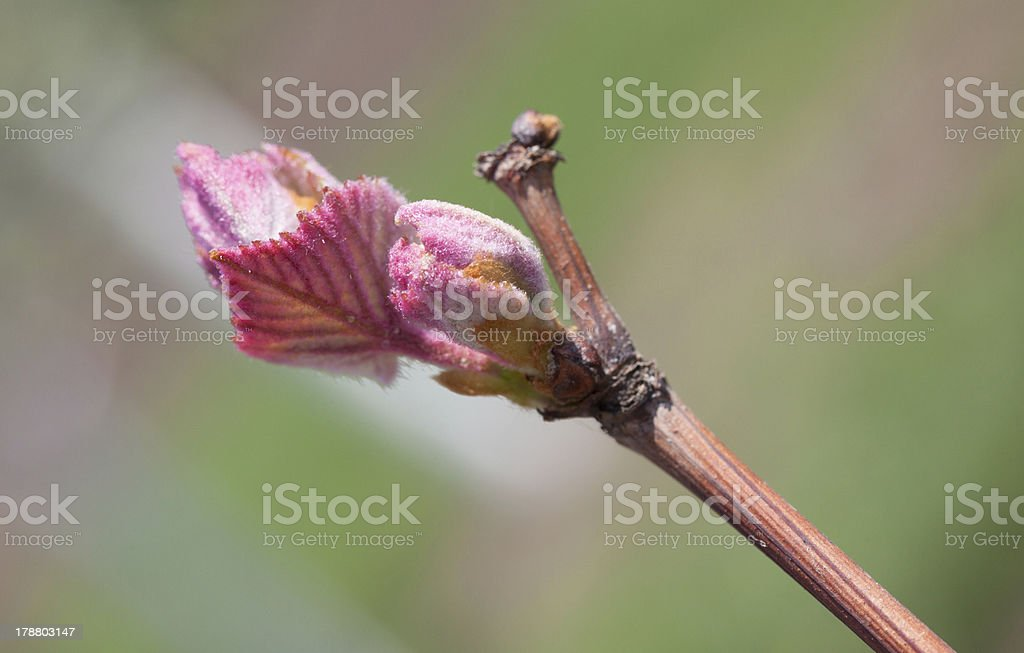 Grape bud royalty-free stock photo