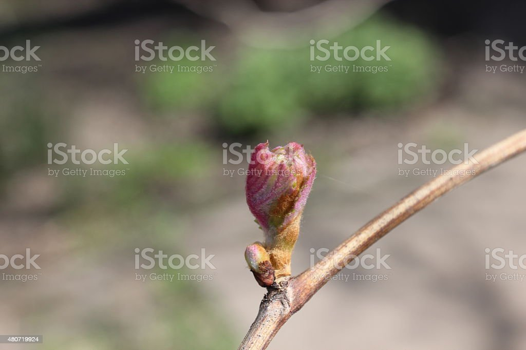 Grape bud stock photo